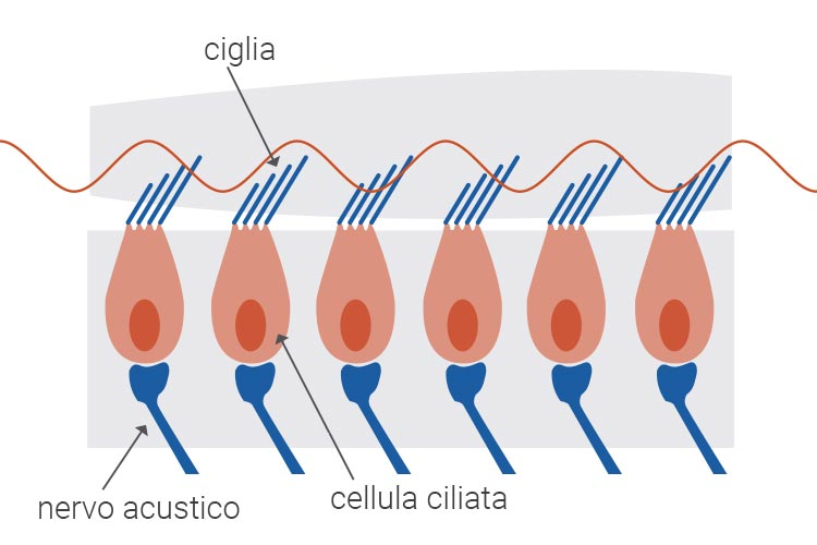 cellula ciliata in salute